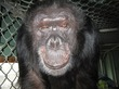 RIP Booie, The Smoking, Signing, Sweets-Loving Chimp