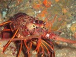 Spiny Lobster Poacher: Man Cited For Poaching From New SoCal Marine Reserve