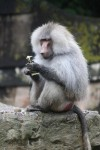 High Social Status Equals Healthier Immune System in Baboons